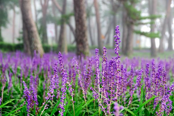 Sangju Pine Forest